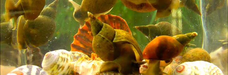 A GUIDE TO Pond SNAILS INFORMATION & REMOVAL
