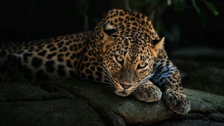 Leopard Lying On The Tree Wallpaper