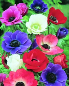 Summer Flower Bulbs | Order Summer Flowering Bulbs, Allium, Freesi Tubers & Plants Online