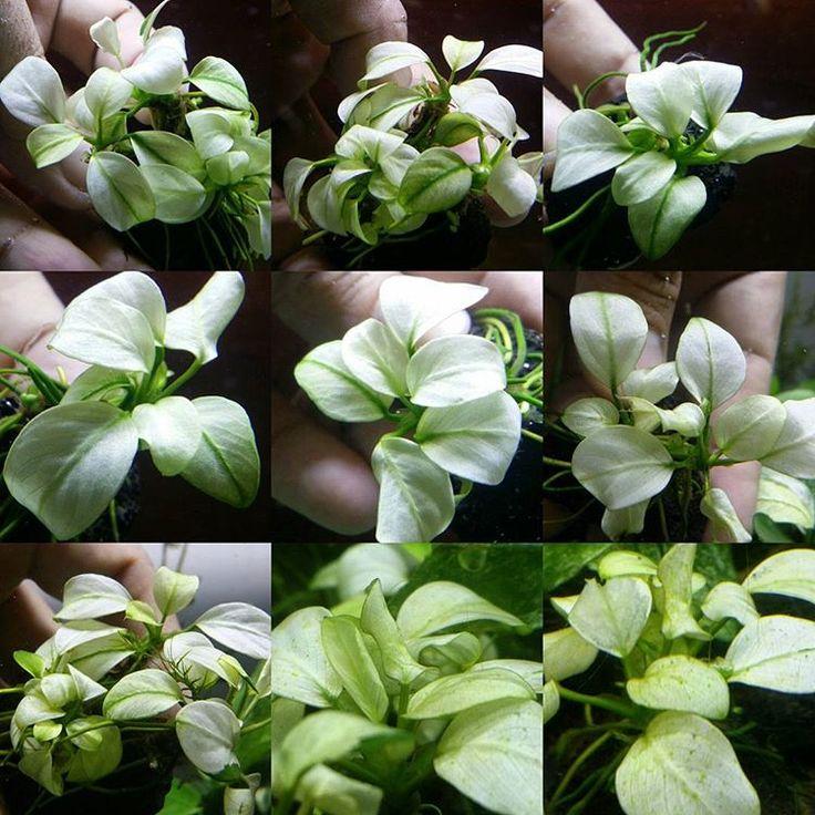 Anubias White Alba #aquarium #aquatic #bucephalandra #fern #frower #flora #plant #plants #fish #tetra #redbee #design #designer #landscape #anubias #Echinodorus #thailand #bangkok #indonesia #singapore #vietnam #europe #usa #america #flowers