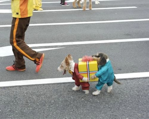 This is so cute that whenever I feel down I'm going to look at this photo!  A dog dressed as TWO dogs carrying a gift! tee hee