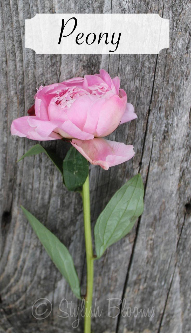 Light Pink Peony