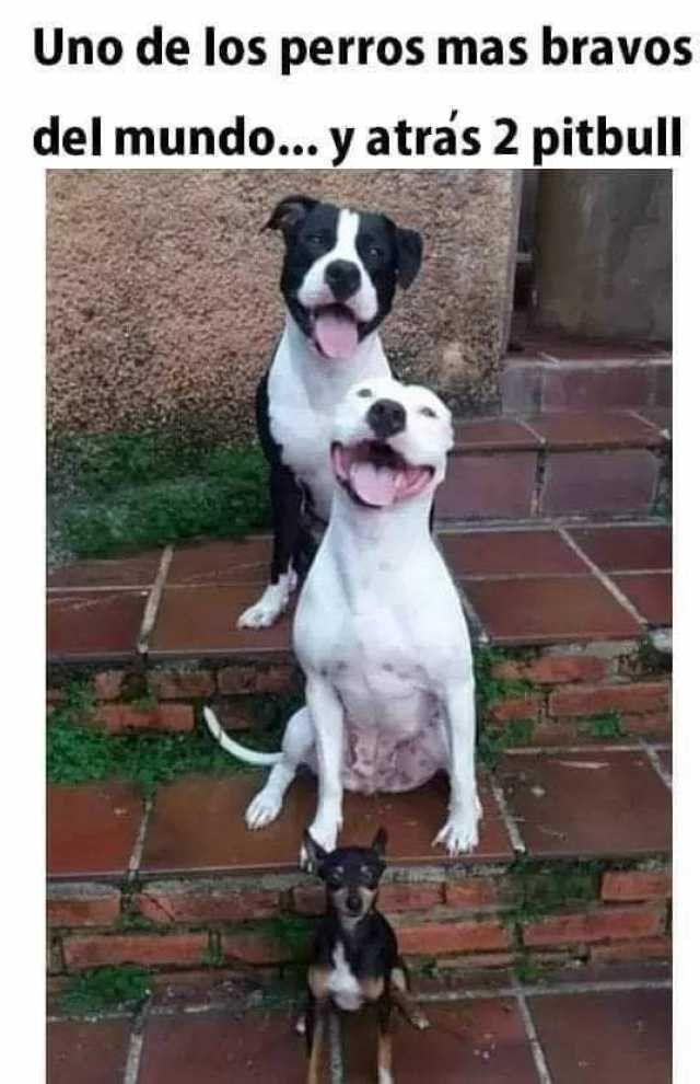 Uno De Los Perros Mas Bravos Memes Perros Cachorros Graciosos Perros