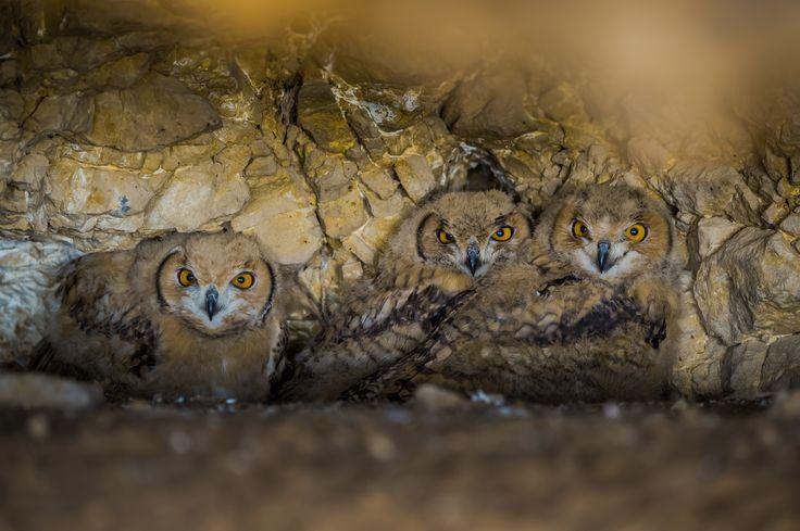 Pharaoh Eagle Owl - Pharaoh Eagle Owl in Saudi Arabia birds photography trip 2016