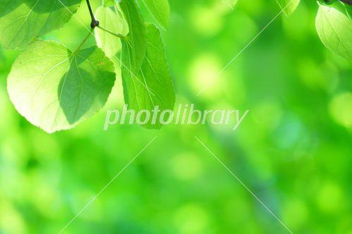 桂の新緑-写真素材