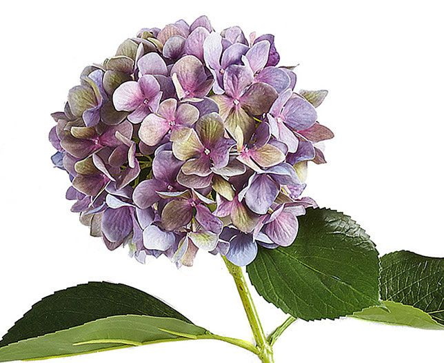 Like cumulus clouds on a sunny day, our mauve hydrangea is a quintessential part of the British summer. Yet these flowers - the focal point of so many gardens -
