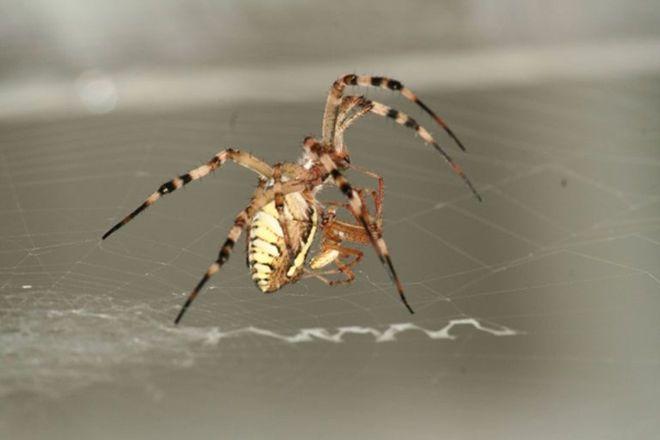 Male Spiders Let Mates Eat Them for Kids' Sake