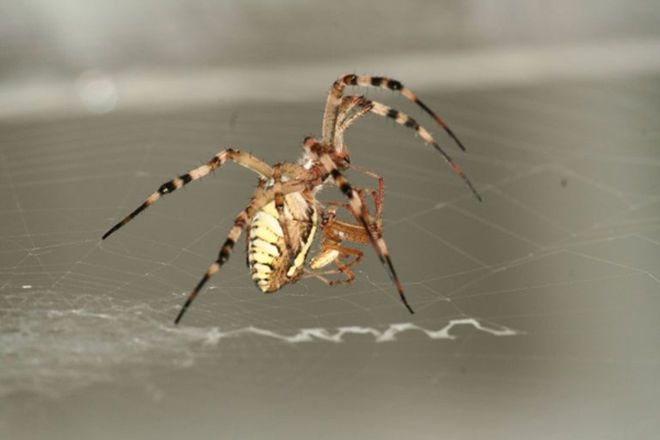 Male Spiders Let Mates Eat Them for Kids' Sake