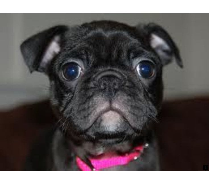 Learn About Black Pugs For Sale Simply Click Here To Read More
