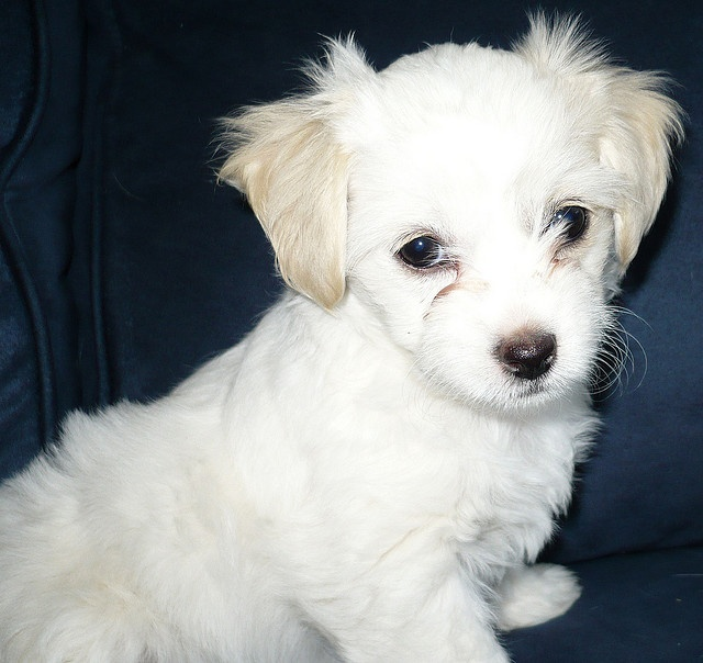 Another MalChiPoo - Maltese, Chihuahua, Poodle mix - a sweetheart ...