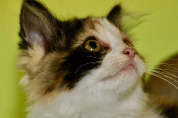 Domestic Medium Hair And Calico Mixed Rescue Cat For Adoption In Panora Iowa Lira In Panora Iowa In 2020 Cat Adoption Cat Rescue Tabby Cat