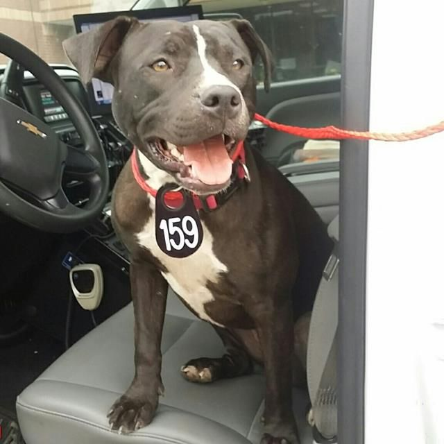 ●4•16•17 SL●** SEE VIDEO!!** HOUSTON - EXTREMELY URGENT - This DOG - ID#A481186    I am a female, black and white Pit Bull Terrier.    The shelter staff think I am about 10 months old.    I have been at the shelter since Apr 11, 2017.     Harris County Public Health and Environmental Services. https://www.facebook.com/harriscountyanimalsheltervolunteers/videos/489400454517533/