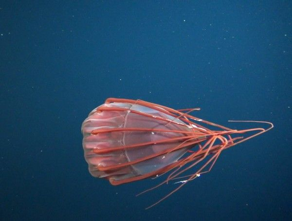 deep sea jellyfish (3)