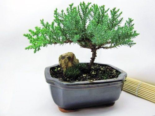 9GreenBox - Bonsai Juniper Tree 3 years old specimen, 6 - 7 tall. Recommended bonsai tree. Great bonsai tree for the beginner. olerates many adverse conditions, hardy tree. Handmade by 9GreenBox.  #9GreenBox #Grocery