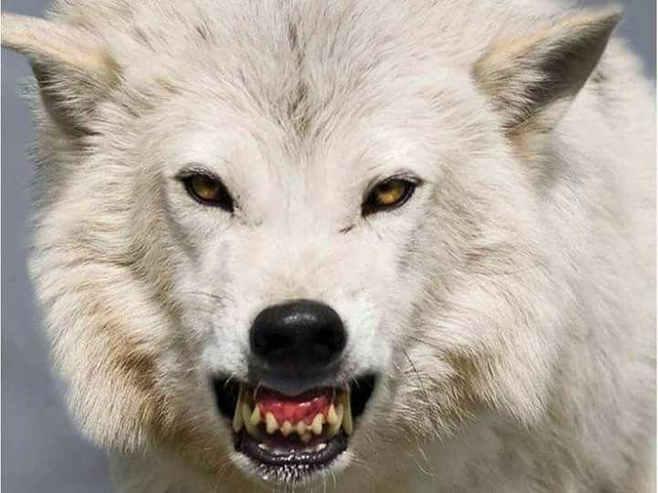 Фото белого волка с красными глазами