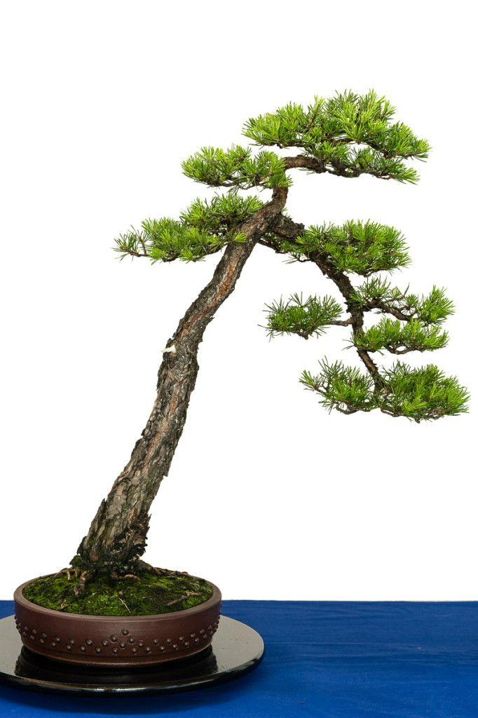 80 year old Pinus sylvestris bonsai tree