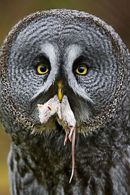 Great Grey Owl by sparky2000, via Flickr