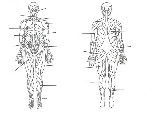 Muscular System Unlabeled . Muscular System Unlabeled