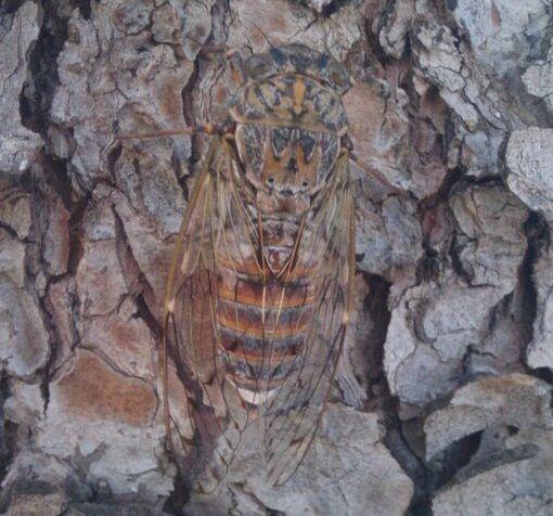 Cicada, Mljet, Croatia