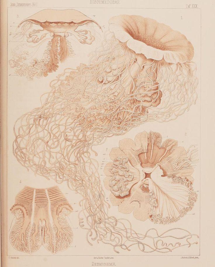 Lion's Mane Jellyfish (Cyanea capillata). #SciArt by Ernst Haeckel for the journal Denkschriften der Medicinisch-Naturwissenschaftlichen Gesellschaft zu Jena Bd.1:Abt.1 (1879). Contributed for digitization by Ernst Mayr Library Museum of Comparative Zoology Harvard University to #BiodiversityHeritageLibrary. http://biodiversitylibrary.org/page/39286826  #LionsManeJellyfish #Jellyfish #Jelly #MarineInvertebrates #Oceans #OceanLife #Invertebrates #BHLib #Biodiversity #NaturalHistory #NatHist…