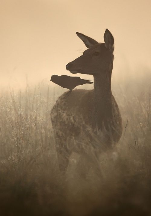 Raven and Deer: Photos, Picture, Animals, Friends, Nature, Beautiful, Birds, Photography, Deer