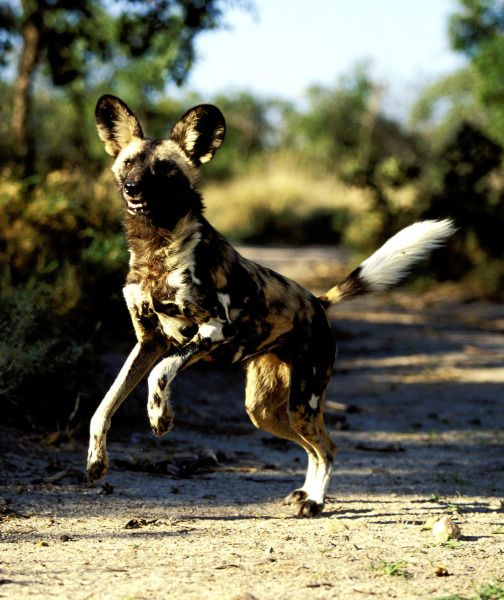 Wild Dogs of the World