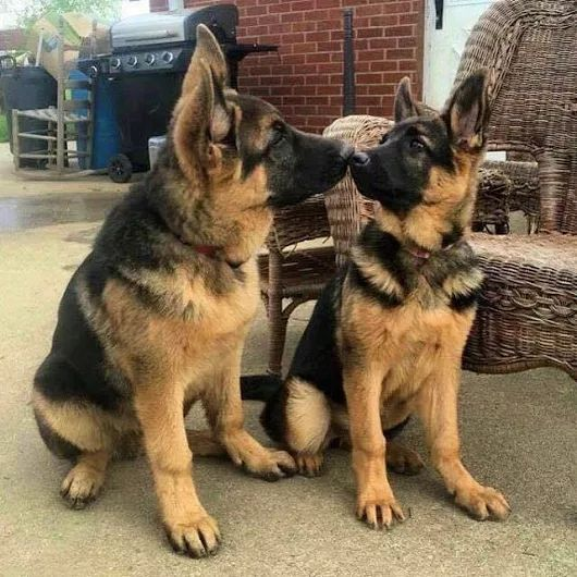 These two German Shepherd pups are having a very close up conversation. So sweet and look how gorgeous they both are!
