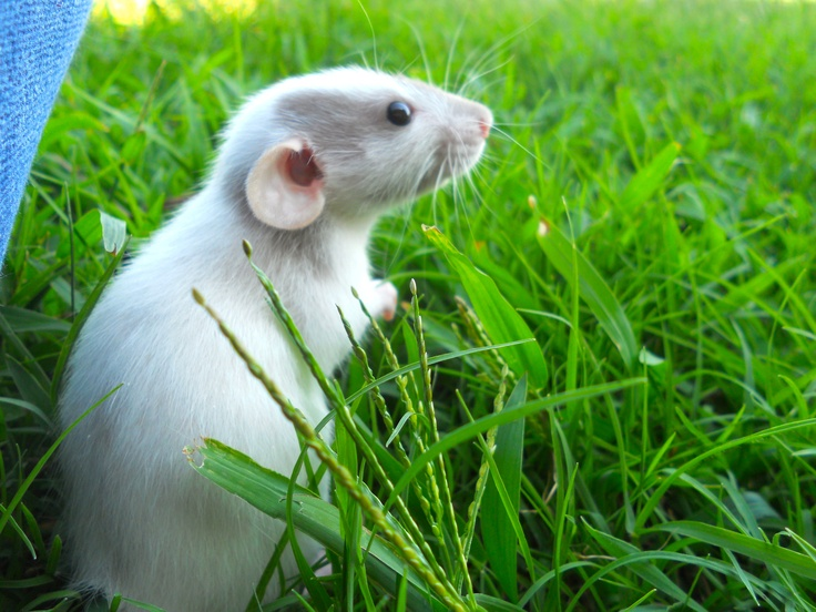 Little Dumbo rat...
