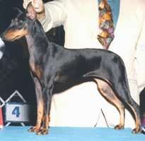 The Manchester Terrier is a high-spirited, powerful, agile, very intelligent, cunning dog which is eager to learn. It displays the true terrier nature, is independent and faithful. Extremely lively, sporty, alert, keen and vigilant. There are two varieties of the Manchester Terrier: Toy and Standard.