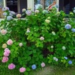 Growing Hydrangeas – Hydrangea Care Guide