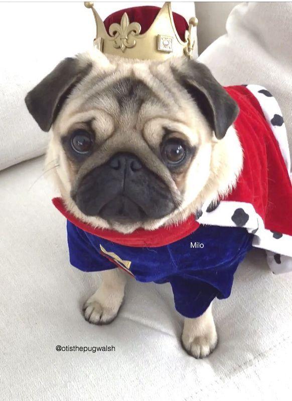 Social Pug Profile Pugs Cute Pugs Baby Pug Dog