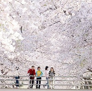 Cherry Blossoms Asian Dating Already A Member Of Hulu Account