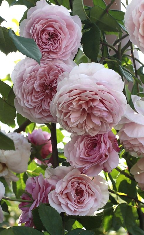 'William Morris' | Shrub.  English Rose Collection.  David C. H. Austin (United Kingdom, 1987).