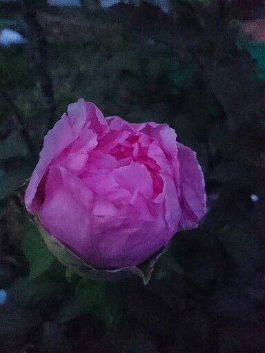 咲き始めた牡丹…