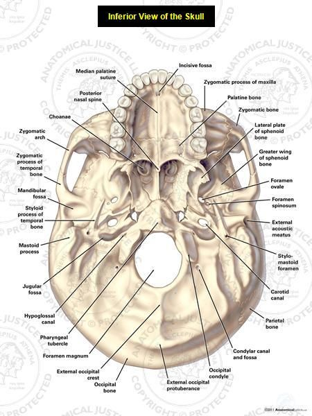 This exhibit depicts the anatomy of the inferior skull including: the foramen magnum, occipital condyles, mastoid process, styloid process, mandibular fossa, palatine bone, sphenoid bone, carotid canal, and the jugular fossa.