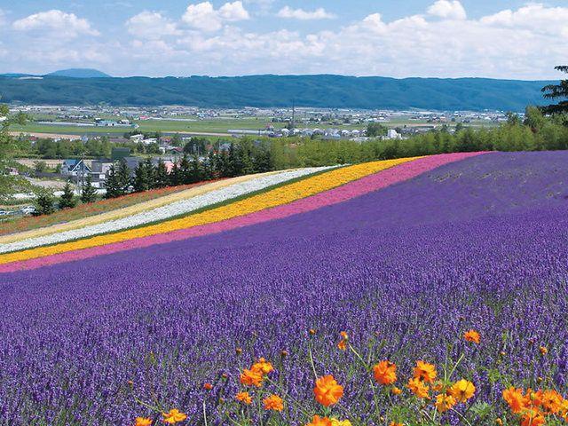 北海道のラベンダー畑「ファーム富田」オフィシャルサイト