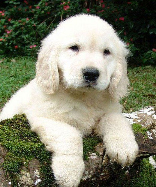 "The Truth About English Cream Golden Retrievers A dog's quality depends on its bloodlines and the care it is given. And don't believe any claims that a truly white or ""platinum"" retriever can be recognized as a golden retriever at all, because that's not the case. English cream golden retriever puppies tend to darken in color as they grow"