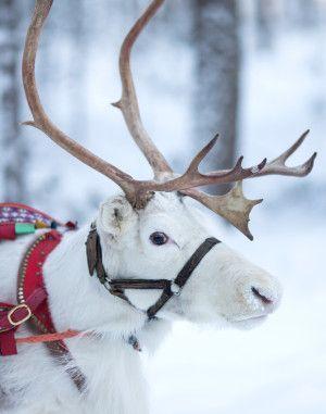 Un des rennes du Père Noël chez Santa Claus Reindeer Resort dans le Village du Père Noël à Rovaniemi en Laponie