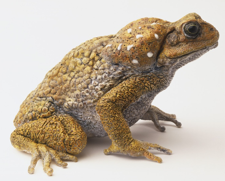 Cane Toad (Bufo marinus), secretes a milky-white fluid known as bufotoxin when threatened. In addition to releasing toxin, the cane toad is capable of inflating its lungs, puffing up and lifting its body off the ground to appear taller and larger to a potential predator.