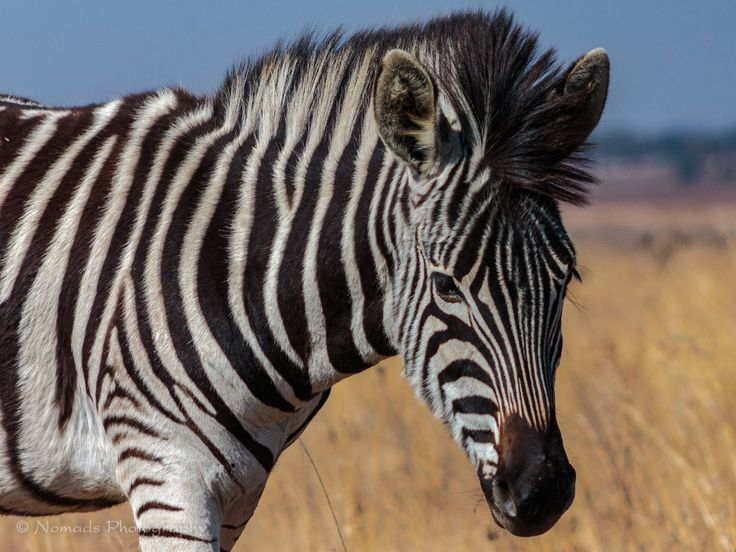 Striking - Zebras are boldly striped in black and white, and no two individuals look exactly alike. They also have black or dark muzzles. The natal coat of a foal is brown and white. All have vertical stripes on the forepart of the body, which tend towards the horizontal on the hindquarters.