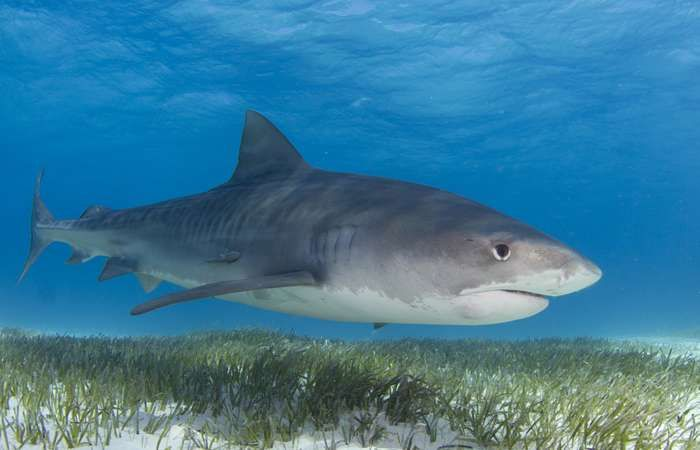Sharks revealed as the great protectors of seagrass. Sharks are critically important to the health of the world's oceans, yet a quarter of all shark species are threatened with extinction. Seagrass is essential to fighting climate change. Per unit area, seagrass meadows can store up to twice as much carbon as the world's temperate and tropical forests.