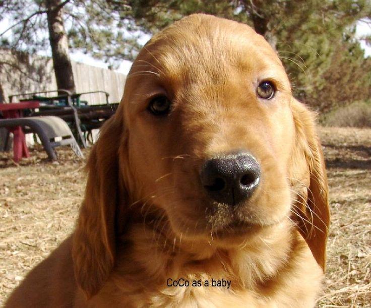 Dark red golden retriever puppies for sale red golden