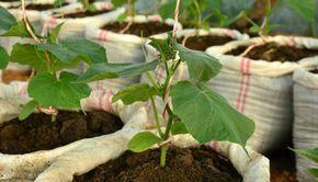 Огурцы в мешках не занимают много места, поэтому выращивание легкое и урожай можно собирать весь сезон,до 10 кг с каждого куста, необходимо лишь...