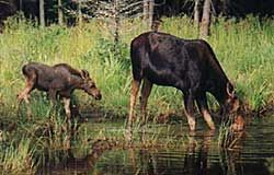 Moose in Maine, nothing better than a mother cow with her calf. Natural Wonders. Private Tours for moose watching - Jeep Safari Moosewatching Adventures