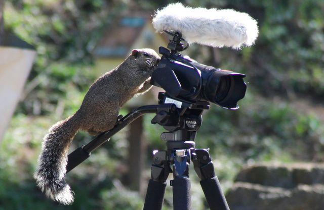 いきもの目線 - どうぶつ新聞: ビデオカメラのファインダーをのぞいているようなしぐさを見せるタイワンリス=町田リス園、竹谷俊之撮影