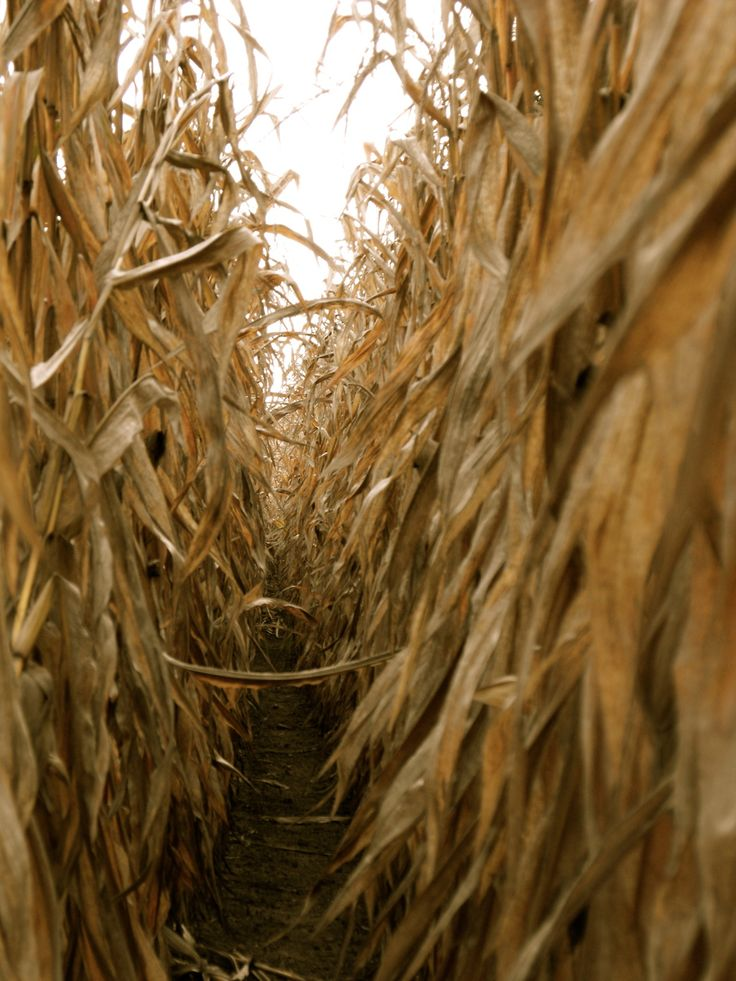 I have wonderful memories of spending hours playing in the corn fields just like this!