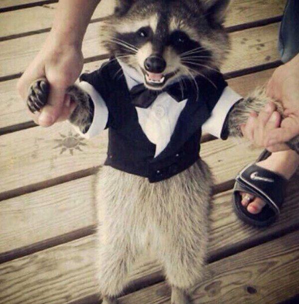 Fancy time raccoon