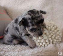 Photos Vivastreet Chiot Femelle Chihuahua Bleu merle