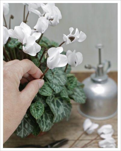 Una delle piante invernali più acquistate e più regalate, il ciclamino abbandona le fresche piane del bosco e grazie a incroci ed ibridazioni che hanno avuto origine dalla specie Cyclamen persicum,...