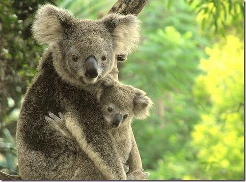 koala bears - Google Search